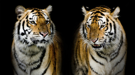 Fototapete - Twin tigerr. (And you could find more animals in my portfolio.)