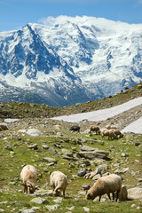 Sheeps feed on alpine meadow in sunlight day