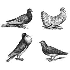 Différentes Races de Pigeons