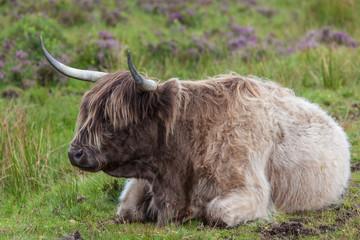 Hihgland cattle