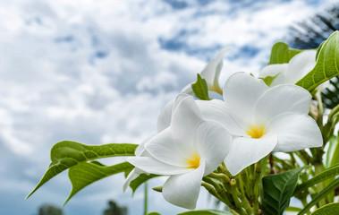 Tuinposter Frangipani plumeria flowers