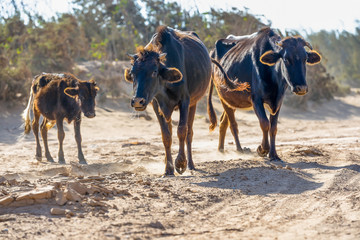 Three darks cows walking along the dusty road