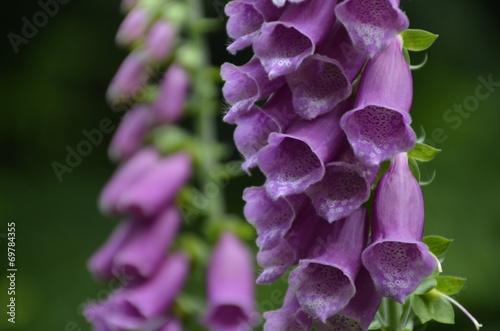 Fleurs Clochettes Violettes Photo Libre De Droits Sur La Banque D