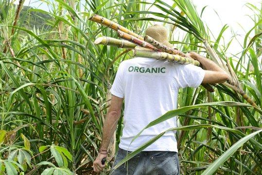 Organic farmer carrying sugar cane