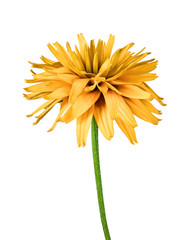 Foto op Canvas Gerbera flower rudbeckia isolated on white background
