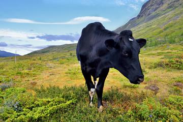 Wall Mural - Norwegia , krajobraz wiejski, pasące się krowy