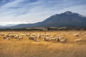 Sheep at New Zealand