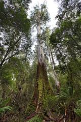 Tasmania Mt Field Tall tree vertical