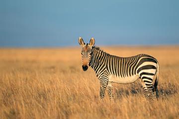 Aluminium Prints Zebra Cape Mountain Zebra in grassland