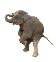 young asia elephant kid playing lifting front legs to show isola