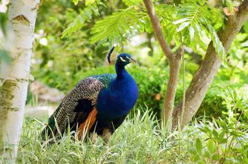 Male peacock in a green garden