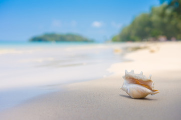 A beach with seashell of lambis truncata on wet sand. Tropical p