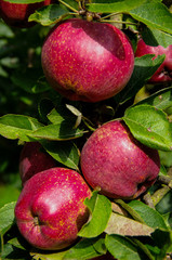 Apples 'annurca' on a tree
