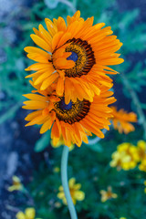 Canvas Prints Sunflower Zonnebloem