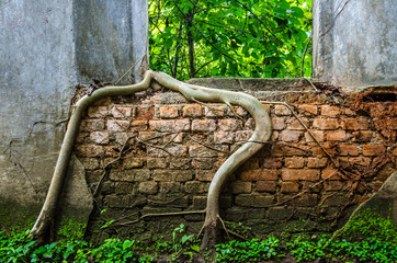 Root of banyan climb over old temple wall