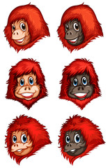 Heads of chimpanzees