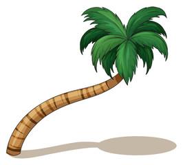A coconut tree