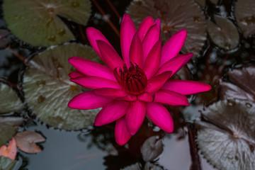 Pink lotus in pond.