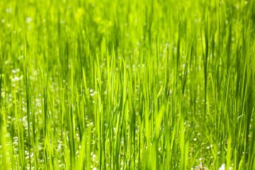 Green grass nature background closeup, natural daylight