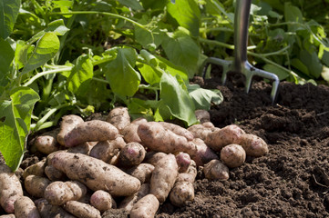 Organic Vegetables - Potatoes