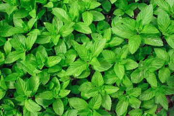 Menthe plant