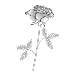 Rose sketch black and white