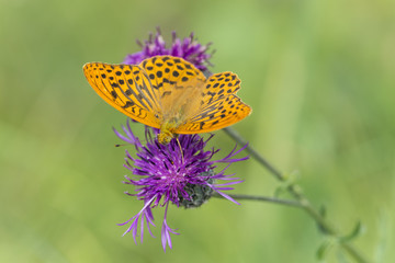 Silver-washed fritillary, Argynnis paphia, feeding on thistle
