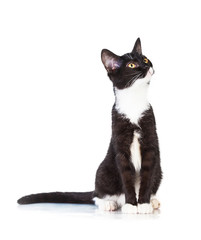 Beautiful young black and white cat looking up