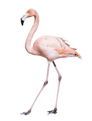 pink flamingo. Isolated over white