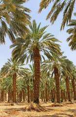 date palm at kibbutz Ein Gedi, Israel