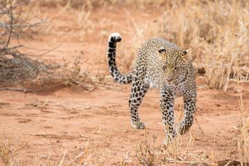 Leopard in der Savanne