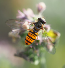 hoverfly in forest