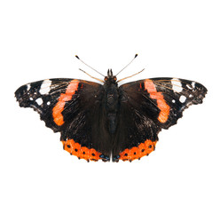 Red Admiral butterfly isolated on white background