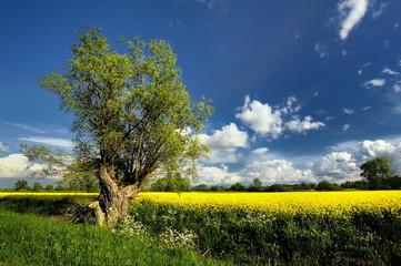 Krajobraz wiejski,pole rzepaku