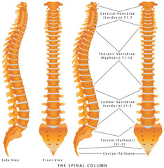 Human spine from side and back