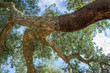 Peeled cork oaks tree