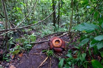 Rafflesia flower in Borneo jungle