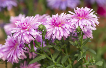 New-york Asters, Symphyotrichum novi-belgi