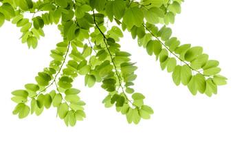 Green leaves - Bauhinia purpurea