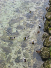 Ducks on the river
