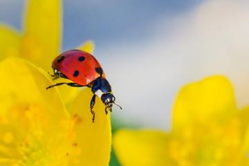 Macro portrait of ladybird or ladybug