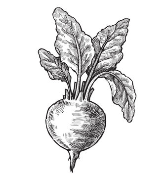 hand drawn of beet