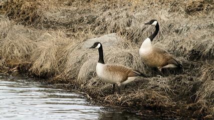 Canada Geese - nesting pair