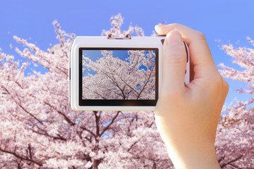 camera taking photo with cherry Blossoms