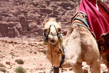 Cammello nel deserto della Giordania