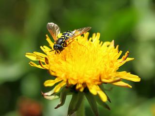 Fotobehang Lieveheersbeestjes Bulb fly