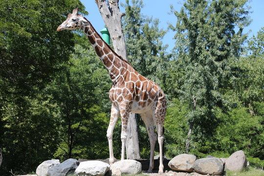 Giraffe is summer