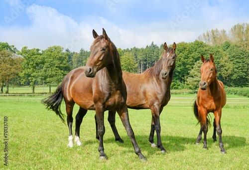 drei junge hengste auf einer pferdekoppel stockfotos und lizenzfreie bilder auf. Black Bedroom Furniture Sets. Home Design Ideas