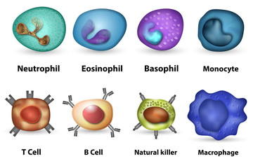 White blood cells overview