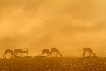Springbok at sunrise, Kalahari desert